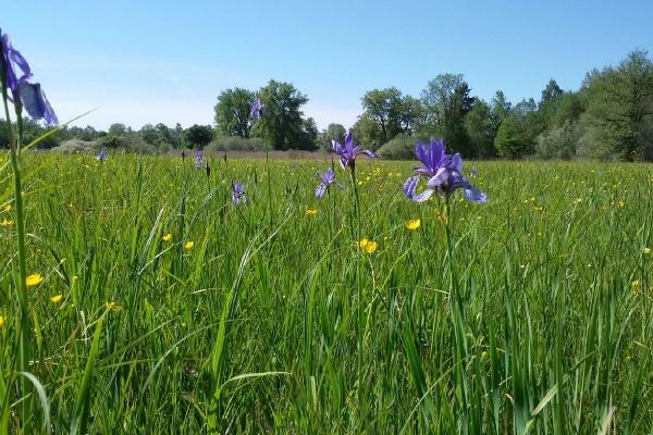 Irisblüte in Grabenstätt