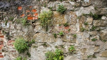 Pflanzen auf der Mauer