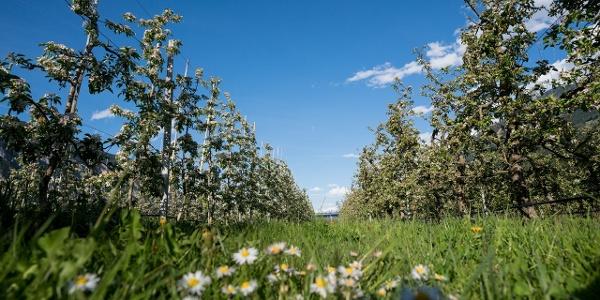 Apfelblüte in Haiming