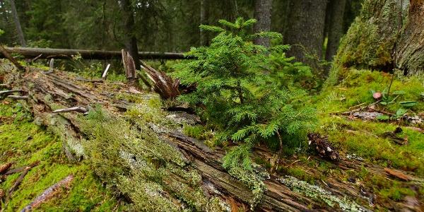Bödmerenwald.