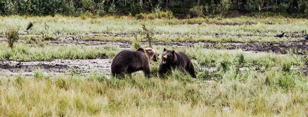 Bären im Sumpfgebiet
