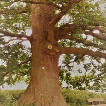 Quercus robur Stieleiche