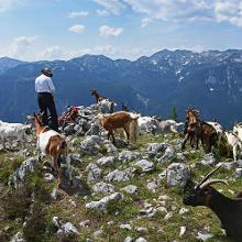 A herd of goats on Pršivec