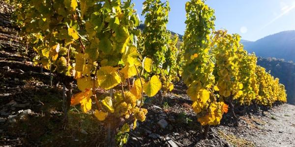 Des vignes sur le plus haut vignoble d'Europe