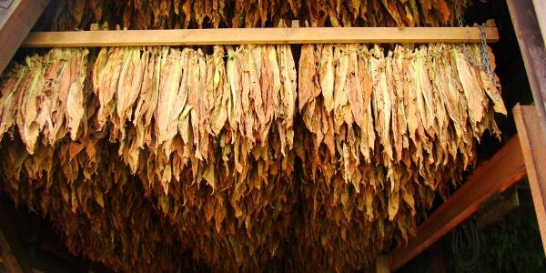 Tabakblätter im Trockenschuppen