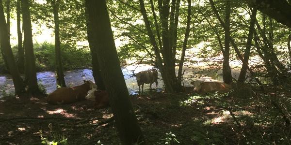 Kühe beim Baden_Zwei Täler Weg