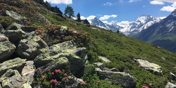Alpine flowers beside the path