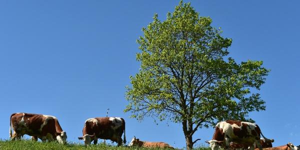Glückliche vogtländische Kühe