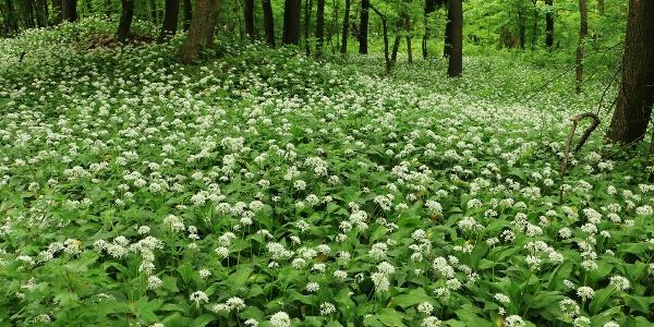 A környező erdőkben májusban virágzik a medvehagyma
