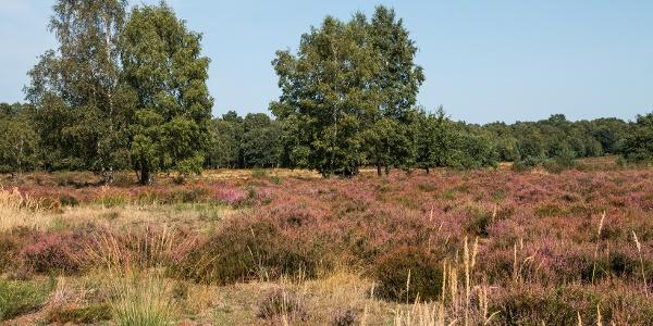 Diesen Eindruck der blühenden Heide haben wir gesucht … und schließlich gefunden.