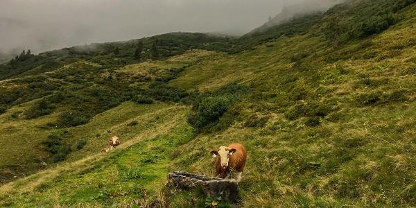 Weidende Kühe auf der Rockfeldalm
