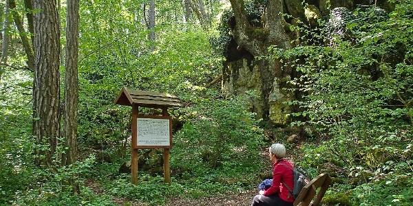 A híres hársfa a sziklába nőve a balatonfüredi Koloska-völgyben