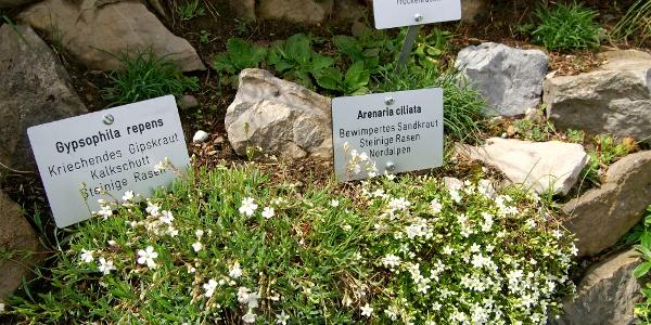Alpengarten Schynige Platte.