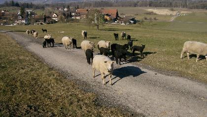 Schafherde im Hintergrund Ottenberg