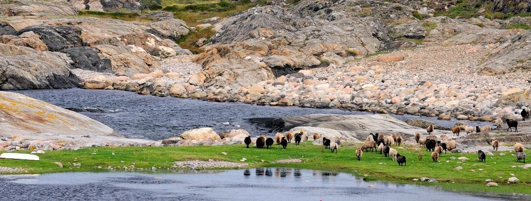 Wandergruppe und grasende Schafe am Meer