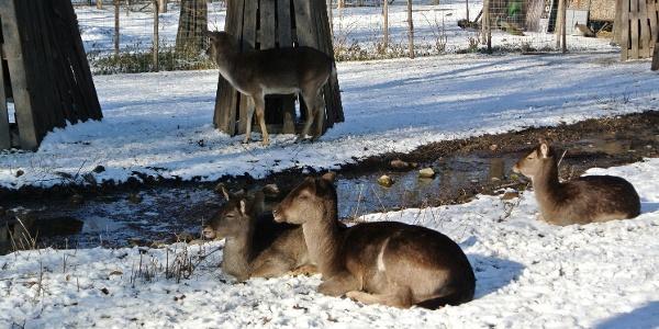 Tél a Margitszigeti Kisállatkertben (Vadaskertben)