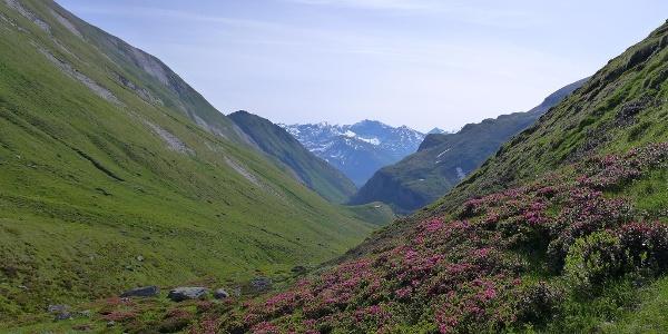 Alpenrosen im Leitertal