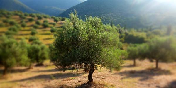 treue Begleiter - Olivenbäume