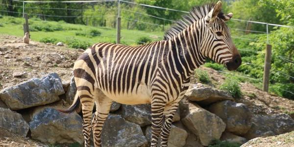 Zebra_by Tierwelt Herberstein