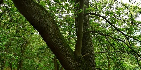 Ein gepflegter Esskastanienwald.