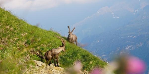 UNESCO Biosphäre Entlebuch - Steinbock-Trek