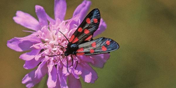 Schmetterling im Gebiet Turren