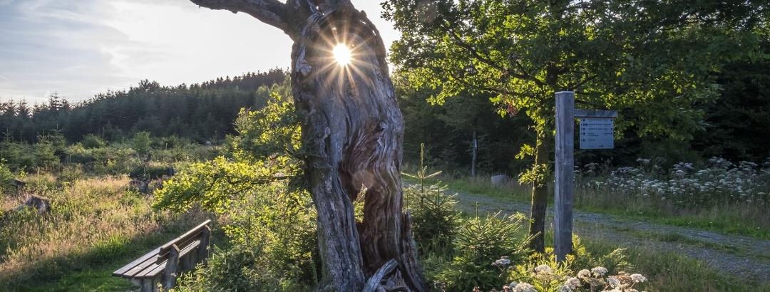 Bizarrer Baum in Kirchhundem
