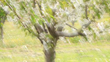 Wind blown blossom