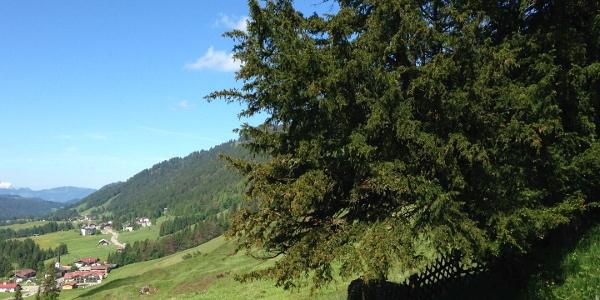Alte Eibe in Balderschwang