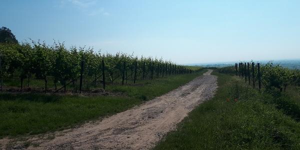 Etappe 3 Pälzer Keschdeweg zwischen den Weinbergen