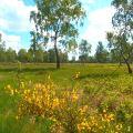 Ginsterblüte im Naturschutzgebiet Struffelt
