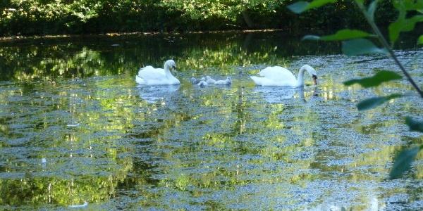 Schwanenfamilie auf einem Teich