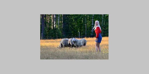 Nestorinrannan lampaat kesälaitumella, Nestorinranta, Puumala, Saimaa Geopark