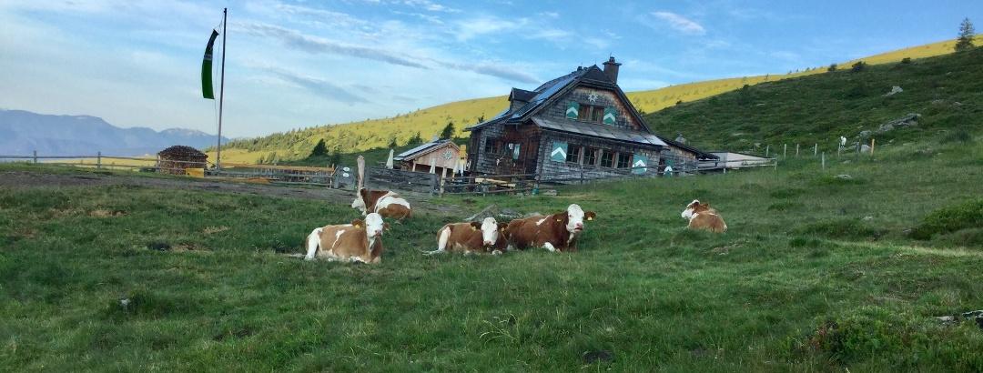 Kühe auf der Millstätter Hütte