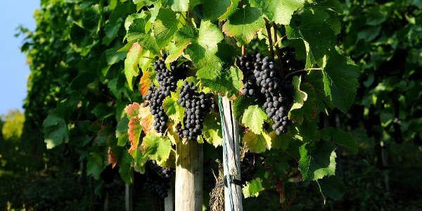Weintrauben in den Weinbergen rund um Lorch