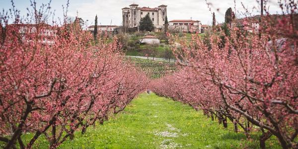 Blooming Peach Trees