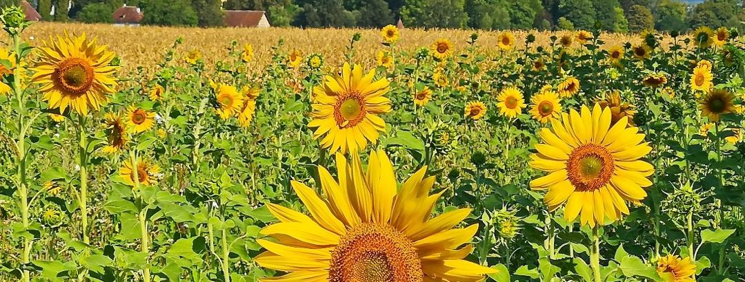 Sonnenblumenfeld bei Schloss Salem