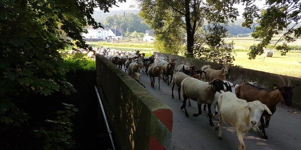 Schafsumzug bei Höfen