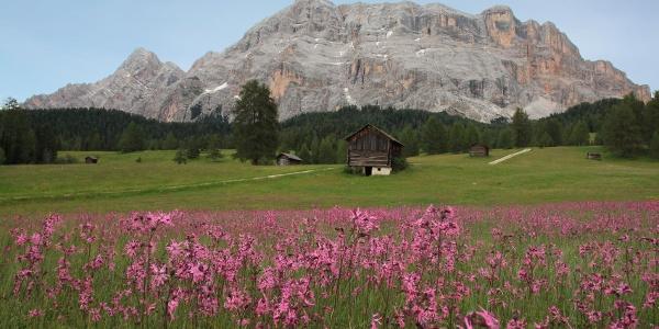 Die Blütenpracht der Armentarawiesen, dahinter einige Almhütten und der Sas dla Crusc