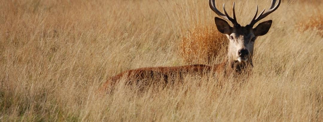 Hirsch im Gras