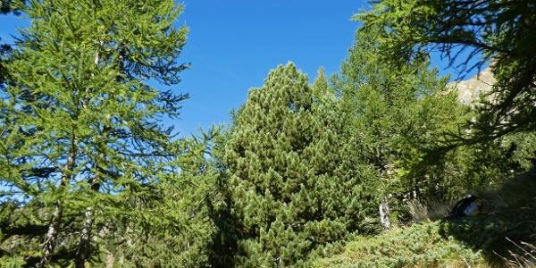 Zirben nahe der Baumgrenze