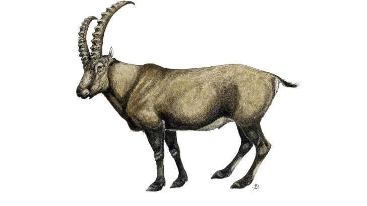 Kozorog (Capra ibex)