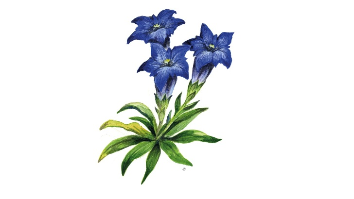 Trumpet gentian (Gentiana clusii)