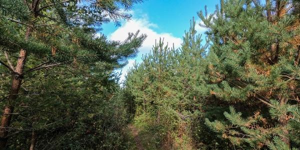 Pine trees (Bergö hiking trail)