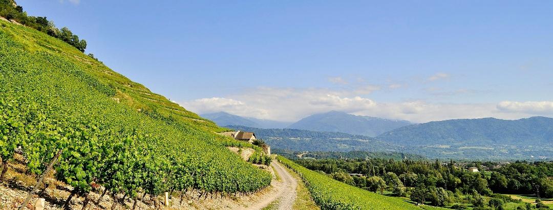 Weinberg in der Savoie