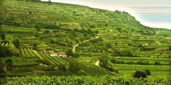 Weinterrassen bei Rohrendorf im Kremstal