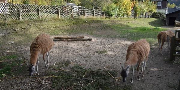 Guanakos im Tiergarten Thum
