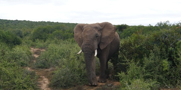 Elefant im Addo Nationalpark