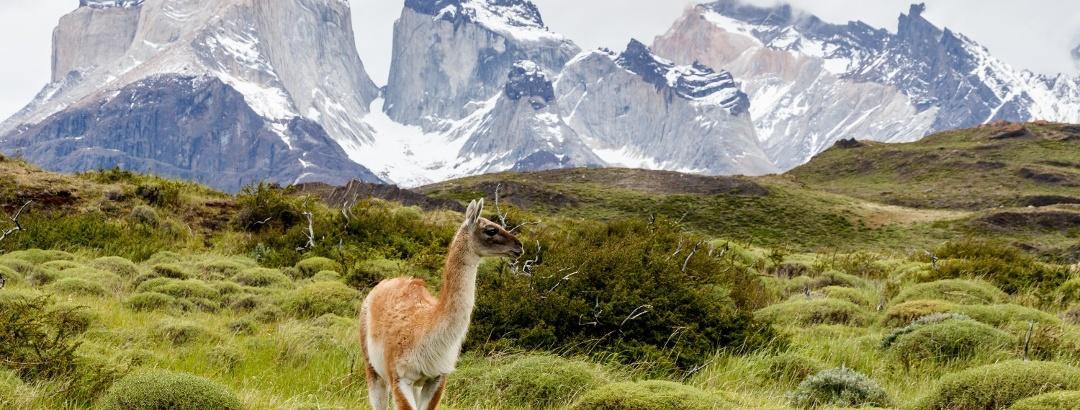 Ein Guanaco im Torres del Paine Nationalpark