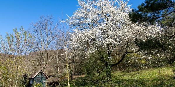 blühende Kirsche in einem Garten